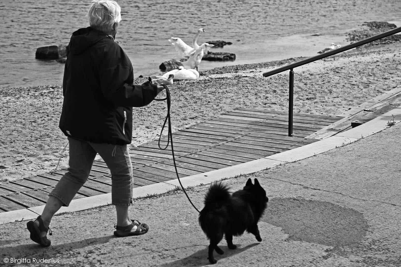 White swan & Black dog © Birgitta Rudenius